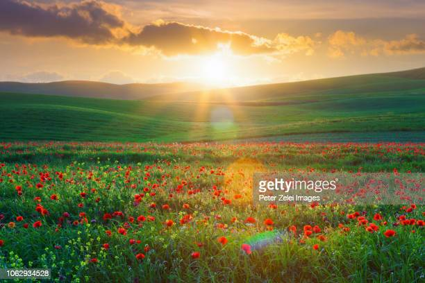 poppy field in tuscany at sunset - val d'orcia stock pictures, royalty-free photos & images
