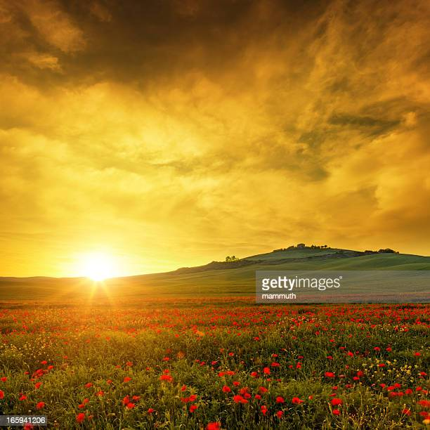 poppy field in Tuscany at sunset