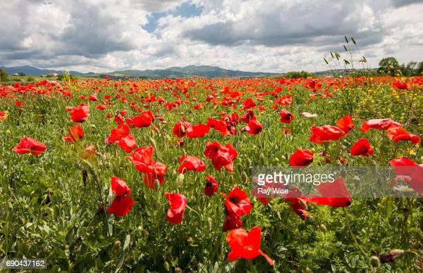 Poppy field in Tuscany, Italy.