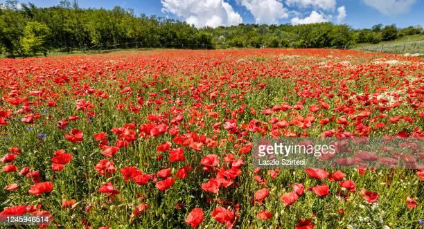 Poppy field is seen at the lavender plantation on June 1, 2020 in Koroshegy, Hungary.