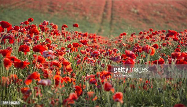 Poppy field landscape at sunset on South Downs