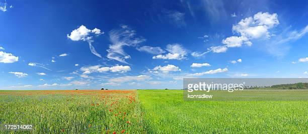 Poppy field landscape