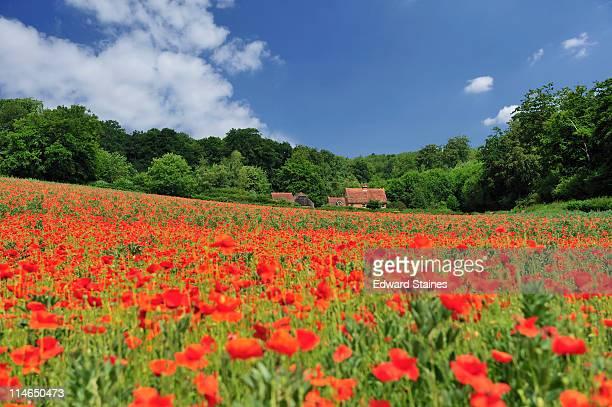 Poppy field, Marlow, England