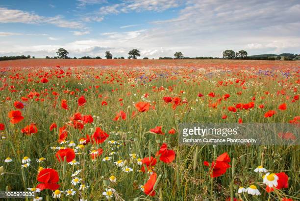poppy field - poppy field stock photos and pictures