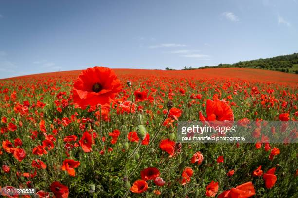 poppy field - memorial stock pictures, royalty-free photos & images