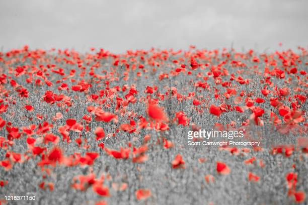poppy field - field stock pictures, royalty-free photos & images