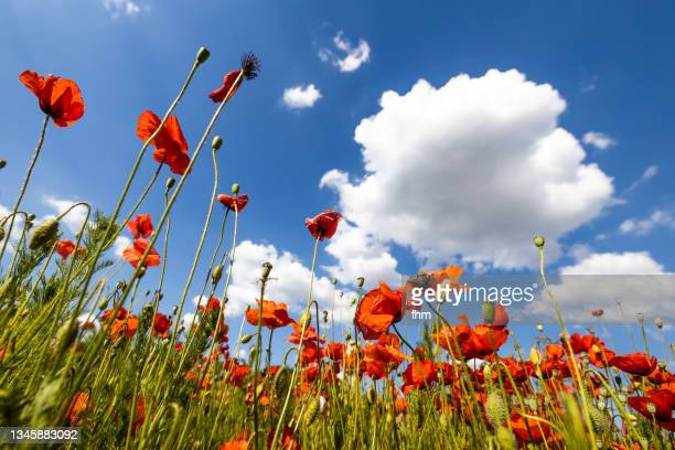 poppy field - flower part stock pictures, royalty-free photos & images