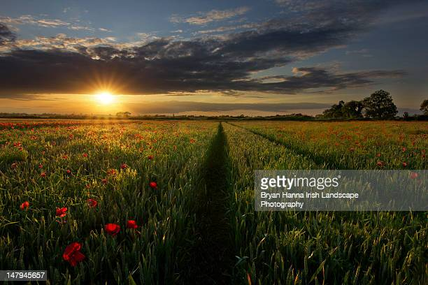 poppy field - kildare stock photos and pictures