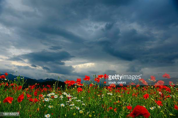 poppy field - poppies stock photos and pictures