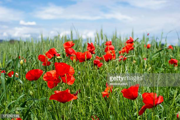 poppy field - remembrance sunday stock pictures, royalty-free photos & images