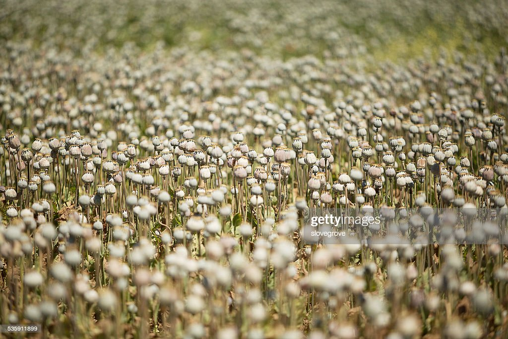 Poppy Field : Stock Photo