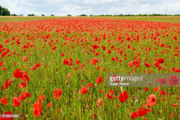poppy field - suffolk england stock photos and pictures