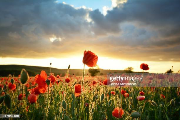 poppy field - poppy stock pictures, royalty-free photos & images