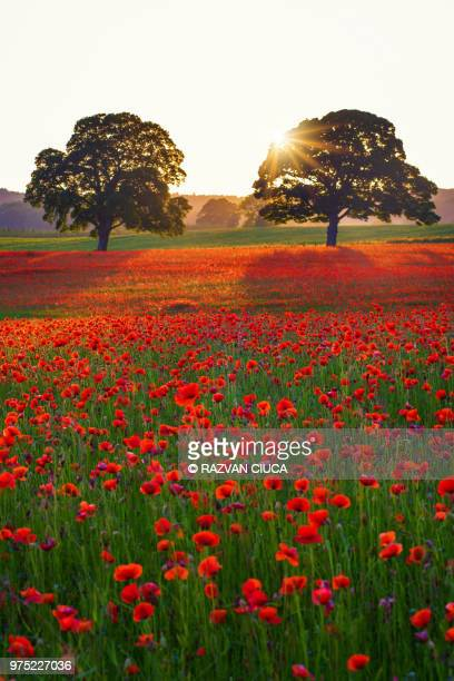 poppy field - remembrance sunday stock photos and pictures