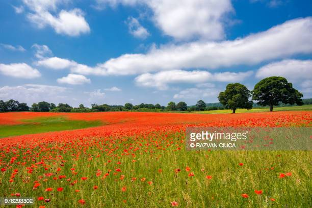 poppy field - northumberland stock pictures, royalty-free photos & images