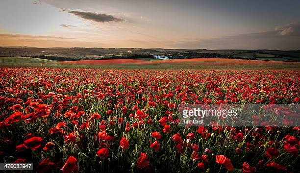 CONTENT] Poppy fields at Falmer East Sussex looking north towards the South Downs