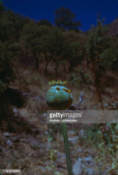 Poppy fields cultivated for processing heroin grow in the isolated mountains of rural Mexico in May of 1998 at an undisclosed location in the Sierra...