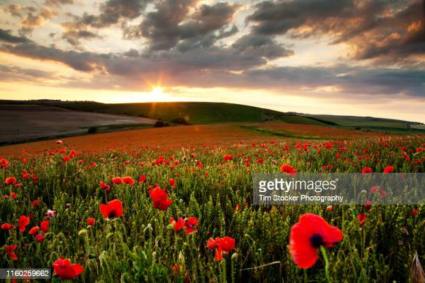 poppy fields in sussex england at sunset - sussex stock pictures, royalty-free photos & images