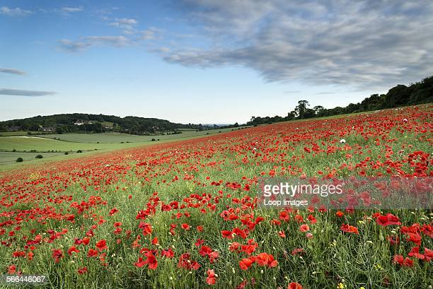 Poppy fields landscape in West Sussex