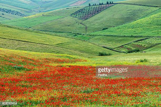 Poppy fields, meadows and olive groves, Morocco, Northern Africa.