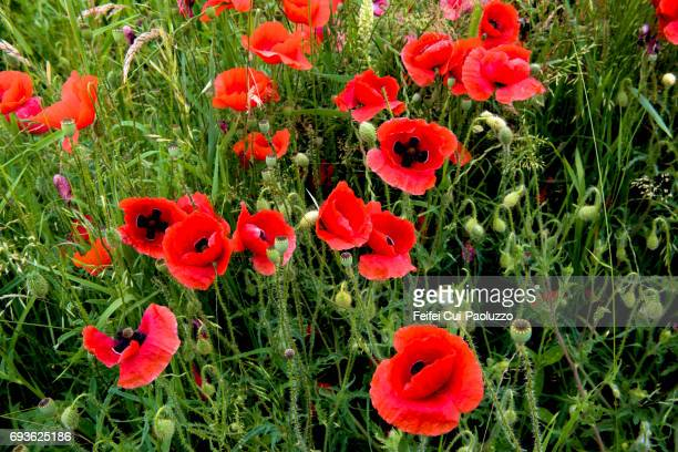 poppy flower field at port, bern canton, switzerland - opium poppy stock pictures, royalty-free photos & images