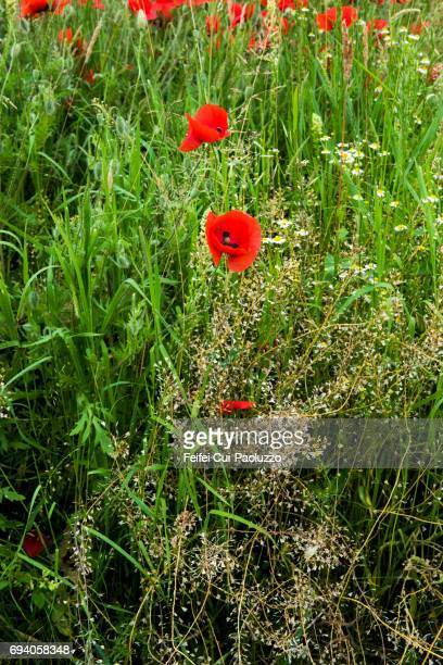 Poppy flower field at Port, Bern Canton, Switzerland