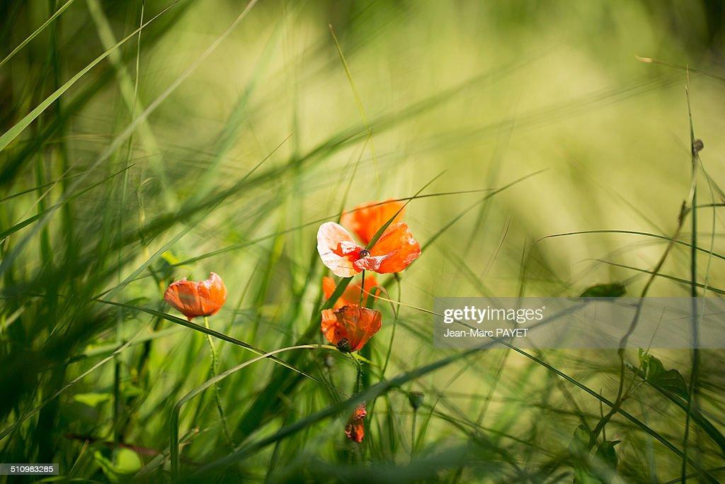 Poppy flower : Photo
