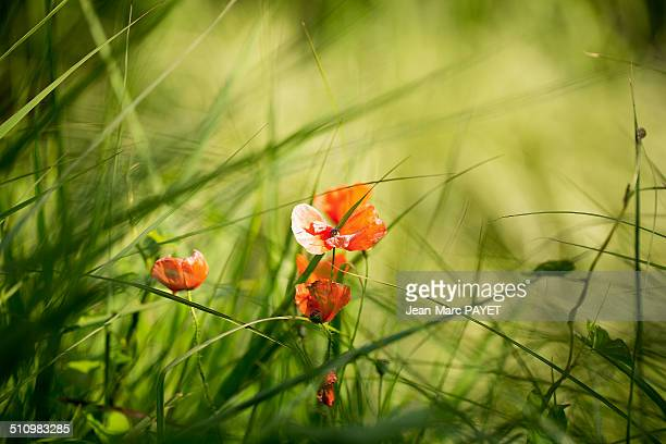 poppy flower - jean marc payet stock pictures, royalty-free photos & images