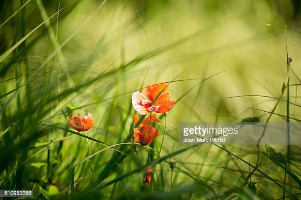 poppy flower - jean marc payet 個照片及圖片檔