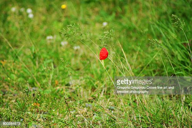 poppy flower - gregoria gregoriou crowe fine art and creative photography stock photos and pictures