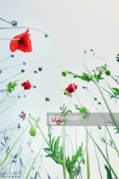 Poppy Flowers against blue sky