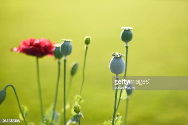 Poppy flowers and seed pods in spring
