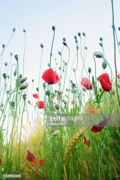 Poppy Flowers  Field in dusk