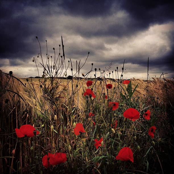 Poppy Flowers Growing On Field Against Cloudy Sky At Dusk