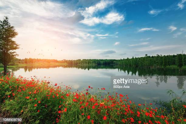 poppy flowers growing on lakeshore, china - image stockfoto's en -beelden
