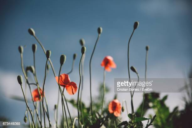 poppy flowers in field - bortes cristian stock photos and pictures