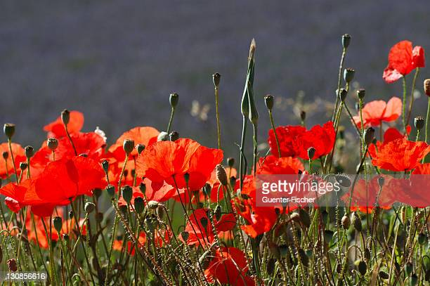 Poppy flowers in front of a lavender field, Provence, France