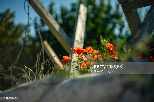 poppy flowers on an abandon german bunkers - british veterans stock pictures, royalty-free photos & images