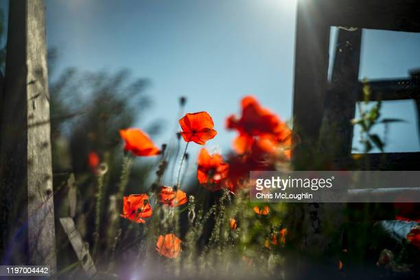poppy flowers on an abandon german bunkers - allied forces stock pictures, royalty-free photos & images
