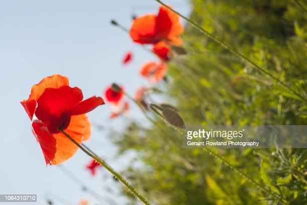 poppy garden, england - screen saver stock photos and pictures