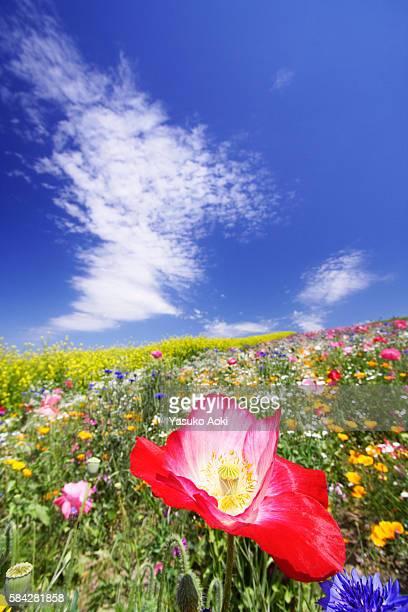 Poppy, Hokkaido Prefecture, Japan