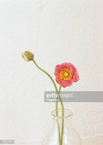 Poppy in a glass vase