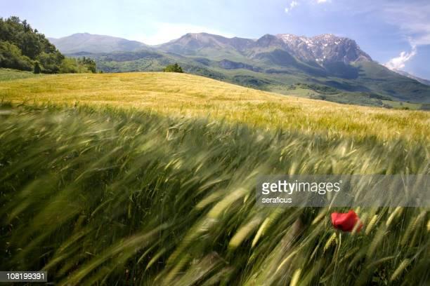 papavero in un campo di grano - vento foto e immagini stock