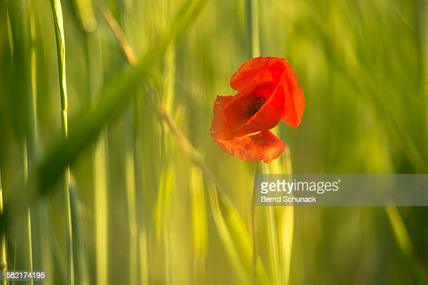 poppy in cornfield - bernd schunack stock photos and pictures