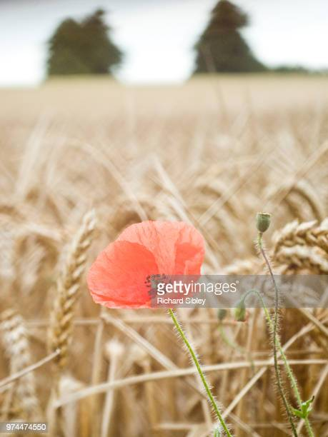 poppy in field - sibley stock photos and pictures