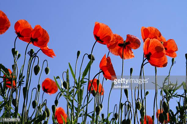 Poppy in front of a blue sky