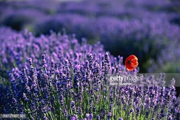 poppy (papaver sp.) in lavender field (lavandula sp.), close-up - provence alpes cote d'azur stock pictures, royalty-free photos & images