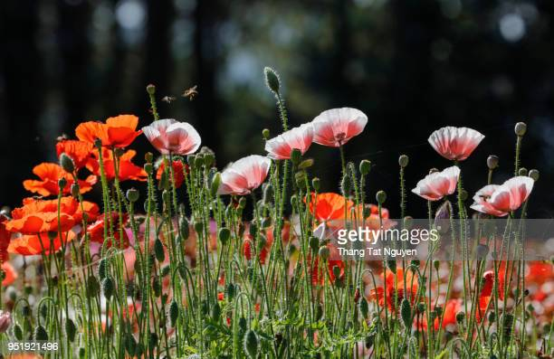 poppy in sunlight - anzac day stock pictures, royalty-free photos & images