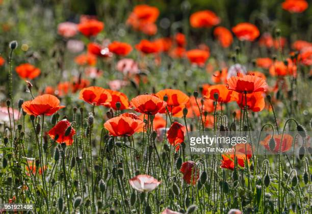 poppy in sunlight - anzac poppy stock pictures, royalty-free photos & images