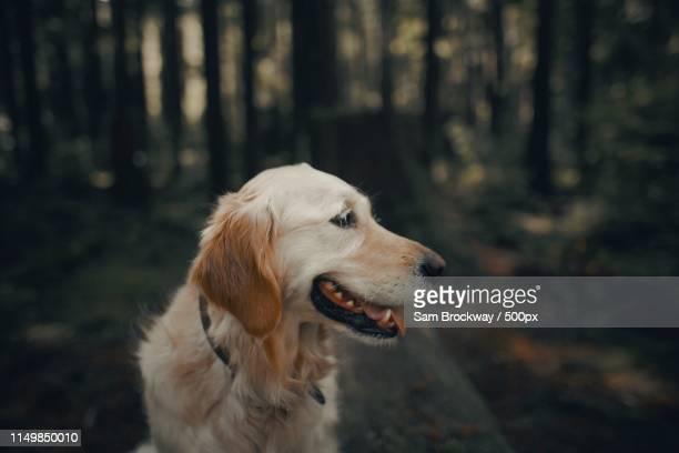 poppy in the forest - golden retriever stockfoto's en -beelden